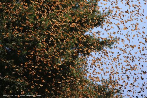 monarchs-e1450366862774