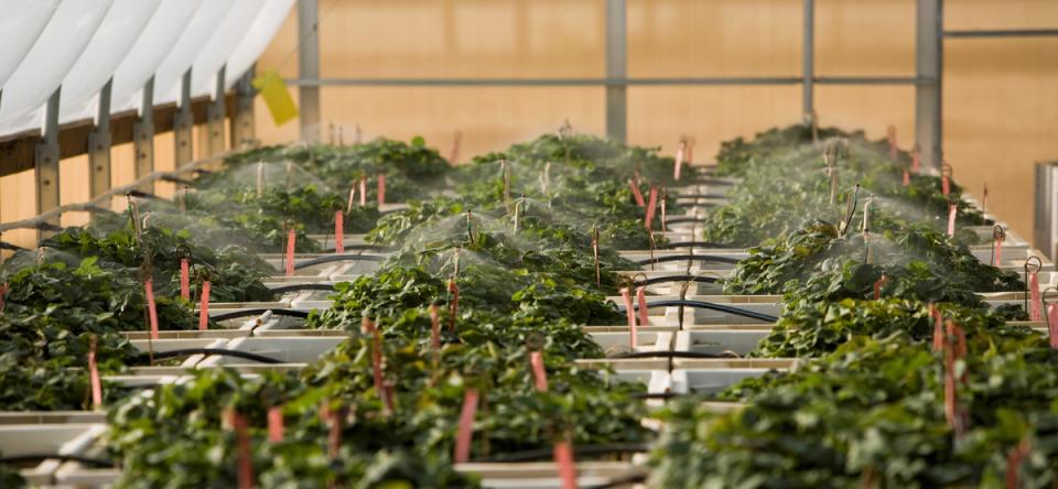 Driscolls_Organic_strawberry_nursery