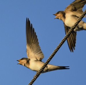 Young-Barn-Swallows-beg-for-food-with-wing-fluttering.