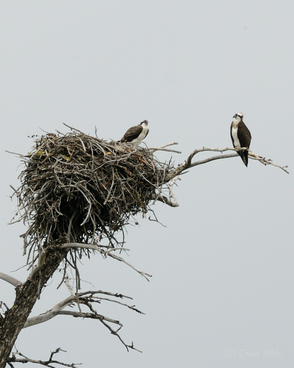 Adult Osprey on perch with young in nest (photo in USA)