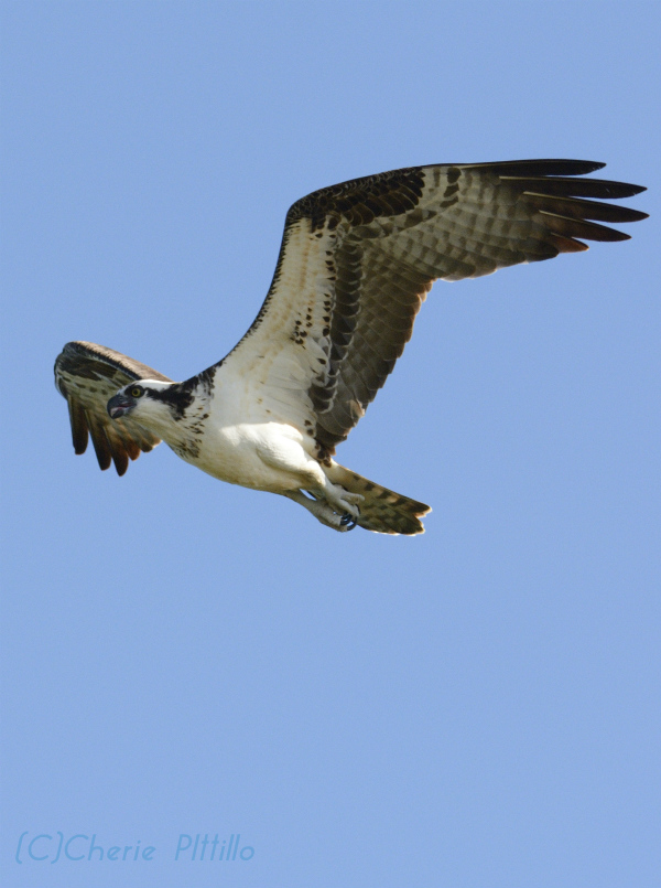 During the sky dance high above the nest site, the white feathers underneath the Osprey almost glow like a lighthouse