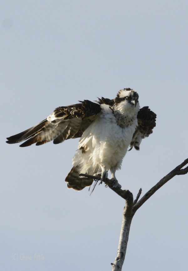Osprey air dries wet plumage after a dive
