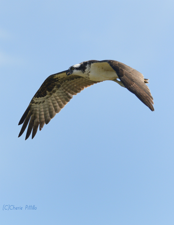 Osprey sky dances