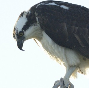 Osprey talons are adapted for catching fish while the hooked bill can tear apart prey