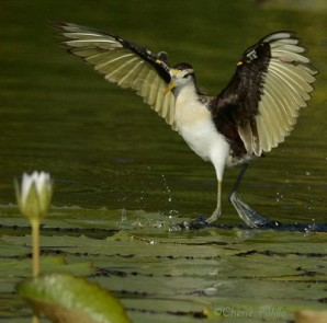 an-immature-northern-jacana-alights-on-a-lily-pad