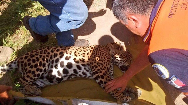 jaguar-leon