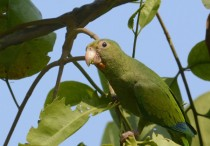 a-vine-provides-the-cobalt-winged-parakeets-tasty-tender-leaves-to-eat