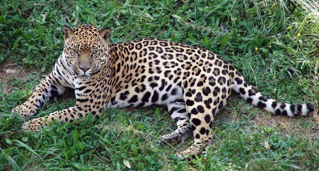 jaguar-guanajuato
