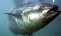 A bluefin tuna swims inside farming pens in 2007 prior to harvest near Ensenada, Mexico. Photo: Chris Park/AP