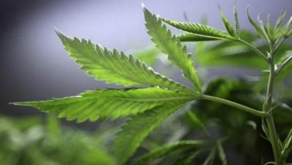 marijuana_-_reuters.jpg_1718483346