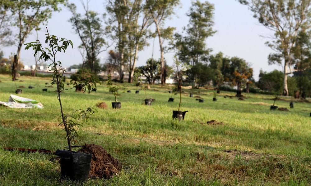 celaya reforestation