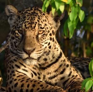 Jaguar portrait