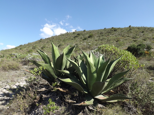 Agave Salmiana (Photo: NaturaLista)