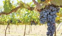 Toyan's grapes (Photo: Toyán)