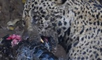 Jaguar licks blood. Left canine exposed from prior lip injury.