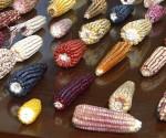 corn varieties