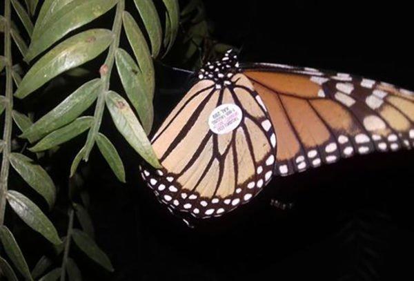 monarch-600x407
