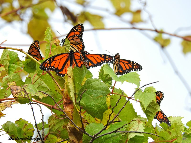 Misplaced monarchs: Clusters of butterflies stuck up north (AP)