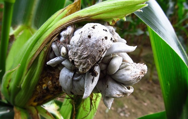 Huitlacoche, pronounced weet-la-COH - cheh, is a fungus that grows on ears of corn. It is also known as cuitlacoche, corn smut, and Mexican truffle. It is a plant disease that causes smut--multicellular fungi with many spores--to grow on maize and is a delicacy in Mexico. (Google)