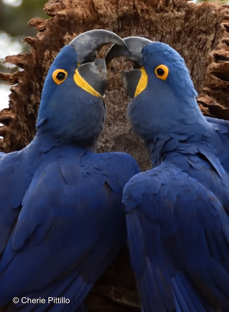 1. Hyacinth Macaw pair