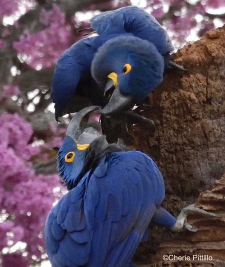 10. Hyacinth Macaw