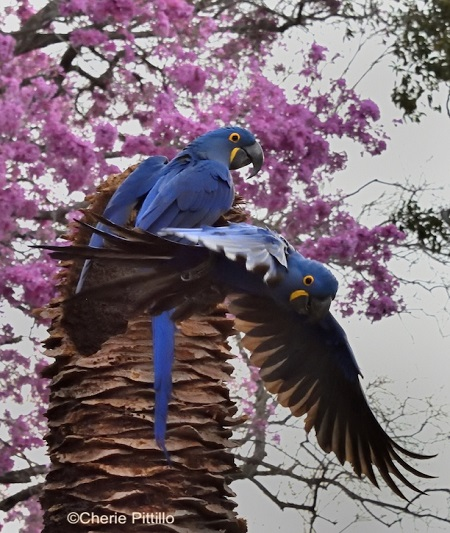 11. Hyacinth Macaw finished