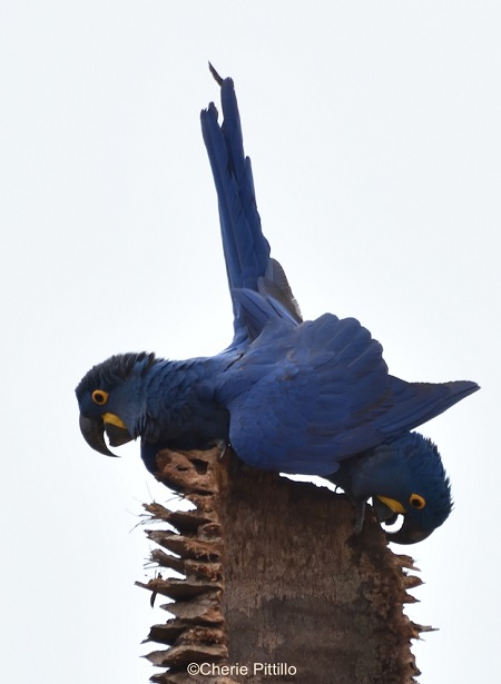 2. Hyacinth Macaw mating