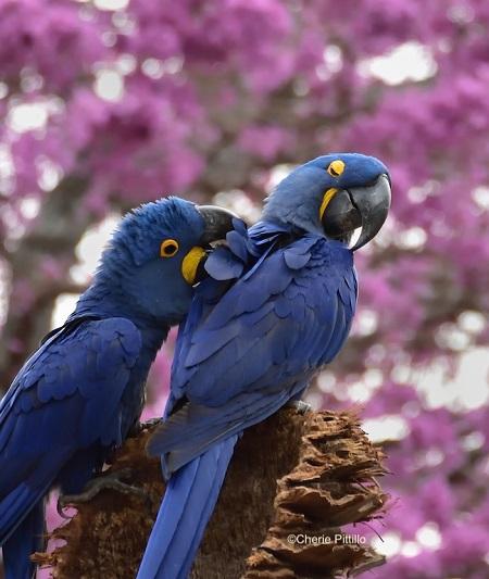 3. Hyacinth Macaw