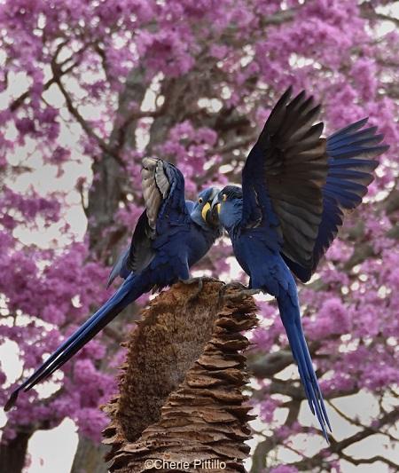 4. Hyacinth Macaw