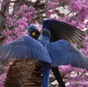 6. Hyacinth Macaw