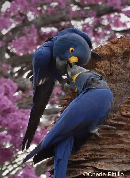 7. Hyacinth Macaw
