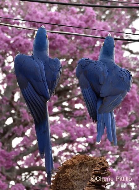 8. Hyacinth Macaw