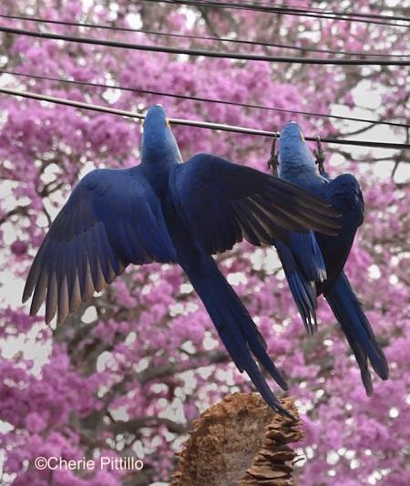 9. Hyacinth Macaw
