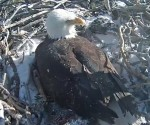 This still photo taken from live stream remote video cam and provided by Friends of Big Bear Valley shows a bald eagle keeping warm two recently hatched chicks on Tuesday, Feb. 13, 2018 in Big Bear, Calif. (Photo: TheNews.MX)