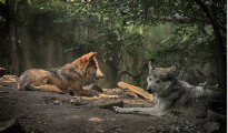 Nine Mexican wolves delivered to the zoo in Leon. (Photo: Noticieros Televisa)