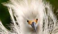 Snowy-Egret-e1528299287906