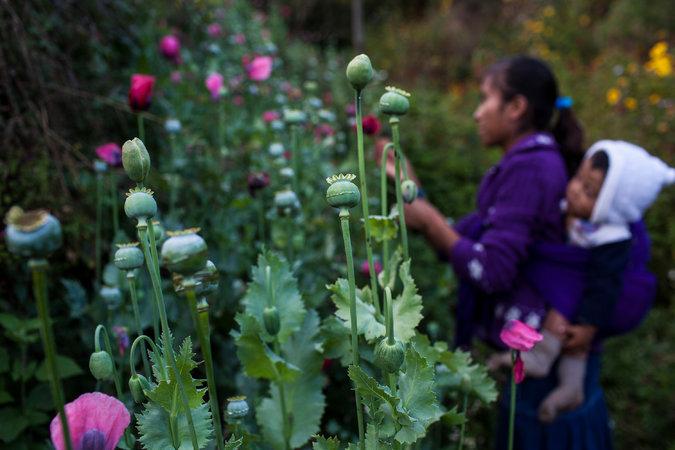 opium-poppy-farm