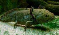 adult axolotl