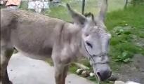 burro maduro
