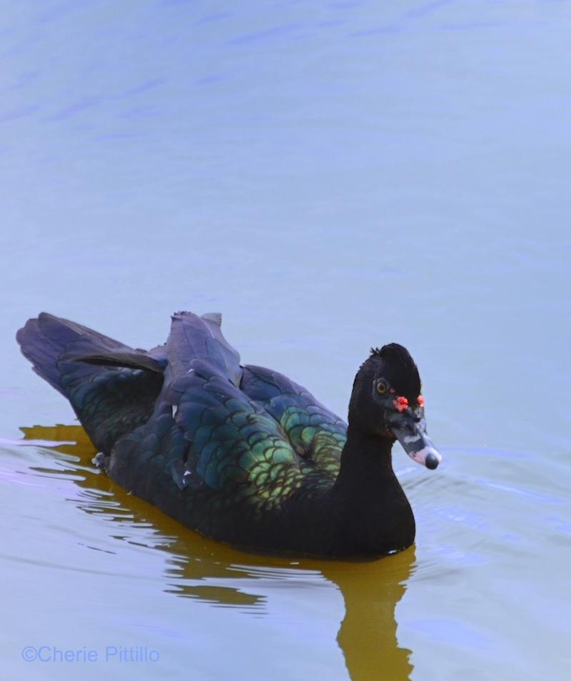 Muscovy Duck in the wild