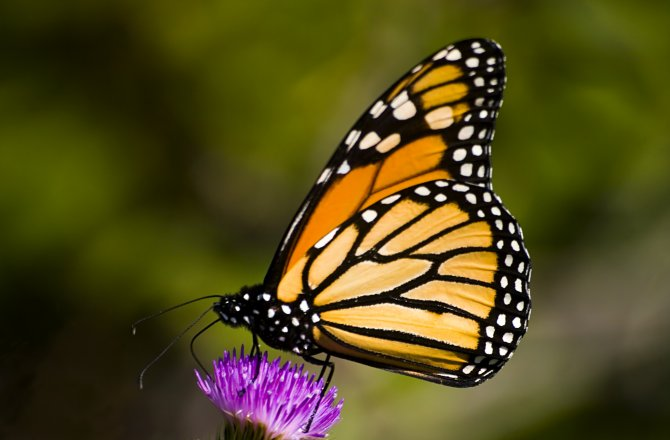monarch-butterflies-use-two-compasses-670x440